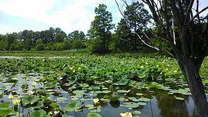 Nelumbo lutea - Native American Lotus in Virginia Beach, Virginia