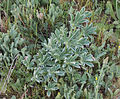 Lupinus gredensis 20150405.jpg