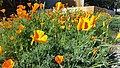Lusk & Vista Sorrento Parkway Golden Poppies 1.jpg