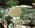 Lycoperdon pulcherrimum 58681.jpg