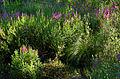 Lythrum salicaria, purple loosestrife, Boxborough, Massachusetts 3.jpg