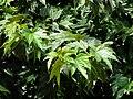 Mûriers à feuilles de platane Bergerac feuilles.jpg