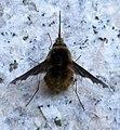 MS Insekt 183847.jpg