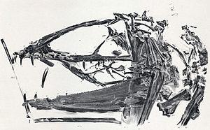 Dimorphodon - Illustration of D. macronyx specimen NHUK PV R 1035