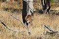 Macropus fuliginosus (32663699925).jpg