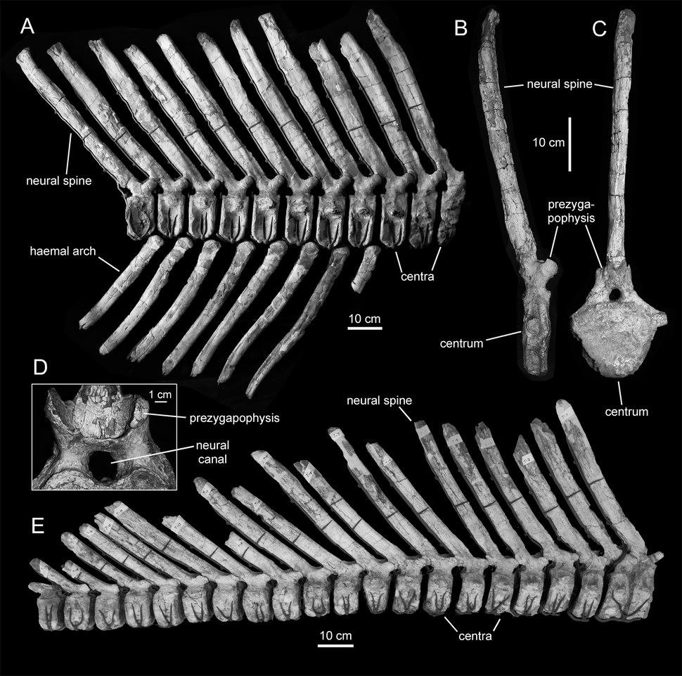 Magnapaulia tail vertebrae