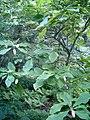 Magnolia tripetala BotGardBln07122011B.JPG