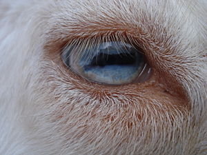 Nigerian Dwarf goat - Closeup of a blue eye in a Nigerian Dwarf goat.