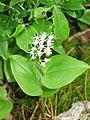 Maianthemum canadense 1-eheep (5097328649).jpg