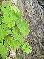 Maidenhair Fern (4066307993).jpg