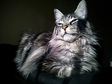 picture of a Maine Coon black silver tabby