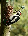 Male Greater Spotted Woodpecker (19537153158).jpg