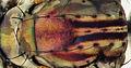 Male Liancalus virens (dorsal bristles) (11623697316).jpg