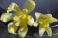 Male and Female Sassafras Flowers.jpg