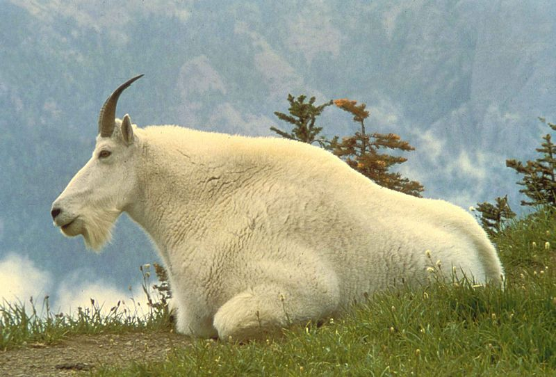File:Male mountain goat animal oreamnos americanus.jpg