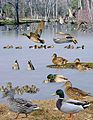 Mallard from the Crossley ID Guide Britain and Ireland.jpg