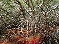 Malpighiales - Rhizophora mangle - 19.jpg