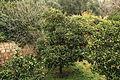 Malta - Siggiewi - Triq il-Buskett - Buskett Gardens 19 ies.jpg