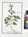 Malva Americana, Ulmifolia, floribus conglobatis ad foliorum alas - Malva - Mauve. (False mallow) (NYPL b14444147-1124971).tiff