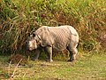 Mammal Rhino Kaziranga IMG 4676 06.jpg