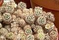 Mammillaria prolifera 1.jpg