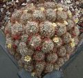 Mammillaria prolifera 3A.jpg