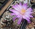 Mammillaria theresae.jpg