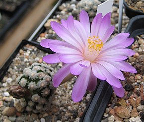 Description de l'image Mammillaria theresae.jpg.
