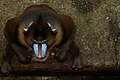 Mandrill at Barcelona Zoo.jpg