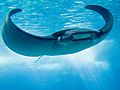 Manta Ray, Lisboa aquarium 2008.jpg