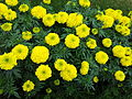 Marigold at Lalbagh Flower show August 2012 095957.jpg