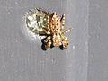 Marpissa muscosa (jumping spider sp.), Arnhem, the Netherlands.jpg