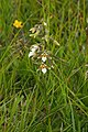 Marsh Helleborine (Epipactis palustris) - geograph.org.uk - 1379032.jpg