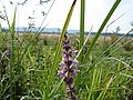 Marsh Woundwort - Stachys palustris - geograph.org.uk - 1167068.jpg