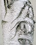 Mature gray birch bark.jpg