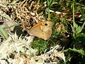 Meadow Brown. Maniola jurtina. u-s male. - Flickr - gailhampshire.jpg