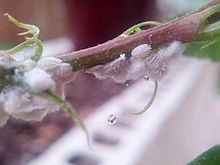 Mealybugs on Hibiscus plant.