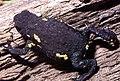 Melanophryniscus montevidensis01a.jpg