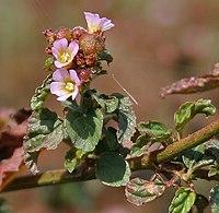Melochia corchorifolia (Lahan Methuri) in Hyderabad, AP W2 IMG 1426