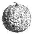 Melon sucrin de Tours Vilmorin-Andrieux 1883.png