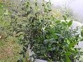 Memecylon agasthyamalayana-1-chemungi-kerala-India.jpg