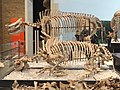 Menoceras arikarense, two composite specimens, Nebraska, USA, Early Miocene - Royal Ontario Museum - DSC00100.JPG