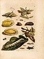 Merian - Der Raupen wunderbare Verwandelung und sonderbare Blumennahrung - Abb 1.jpg