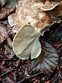 Meripilus giganteus 98259560.jpg