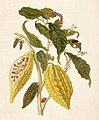 Metamorphosis insectorum Surinamensium. Plate XXVI.jpg