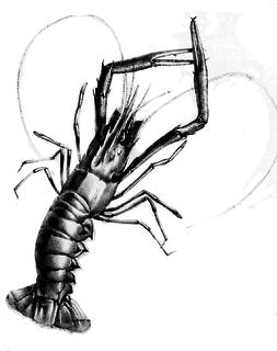 <i>Metanephrops challengeri</i> species of crustacean
