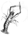 Metanephrops challangeri Bate.png
