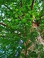 Metasequoia glyptostroboides 003.JPG