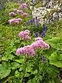 Mi osna g rska (Adenostyles alliariae) Graue Alpendost, Adenostyle feuilles dalliaire ) (866141460).jpg