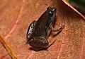 Microhyla sholigari David Raju.jpg